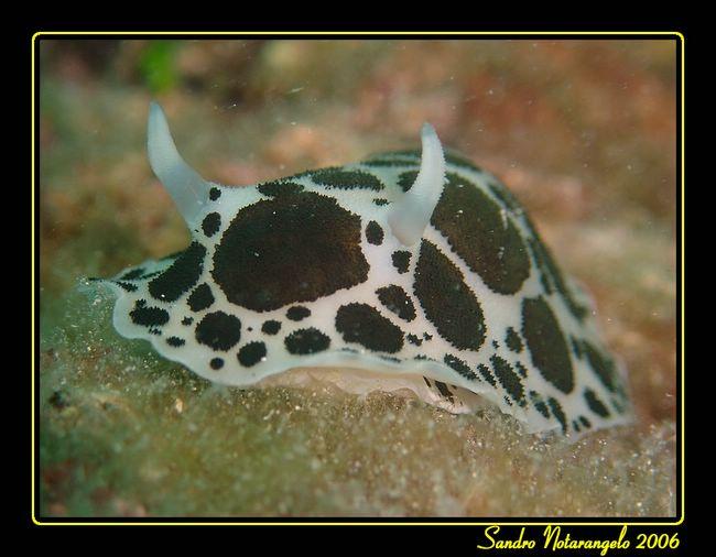 Vacchetta di mare (Discodoris atromaculata)