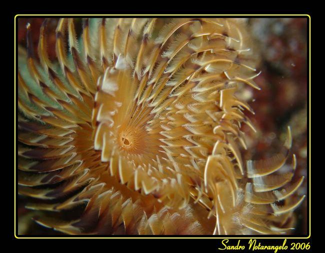 Spirografo (Sabella spallanzani)