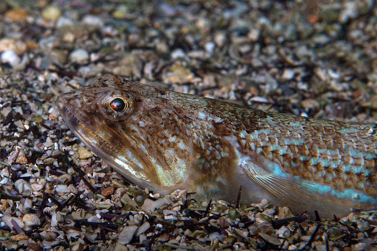 Pesce Lucertola (Synodus saurus)